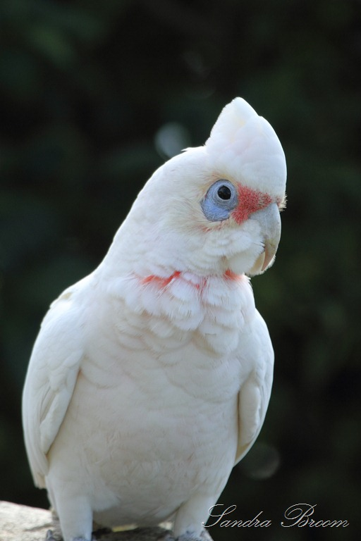 Sulphur Crested Cockatoo S And Long Billed Corella S Gold