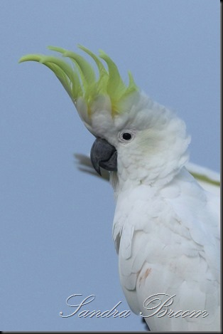 Cockatoo5