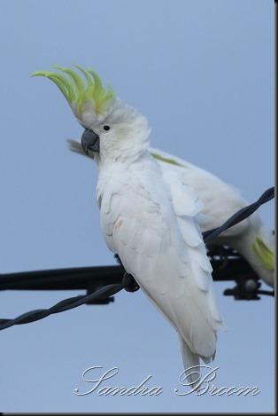 Cockatoo6