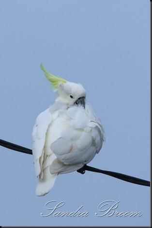 Cockatoo7