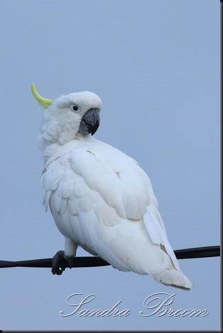 Cockatoo9